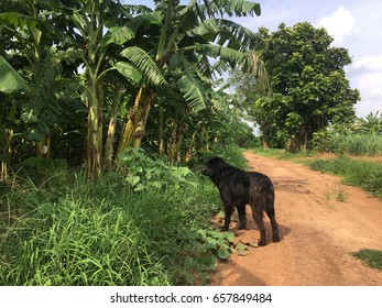 Rottweiler by the Banana Trees