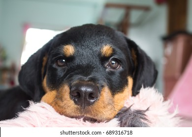 Best Rottweiler Chubby Adorable Dog - rottweiler-cute-260nw-689316718  Image_19649  .jpg