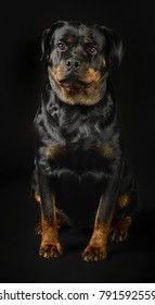 Rottweiler Cute Dog