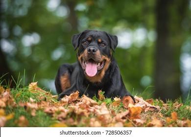 Rottweiler dog in autumn