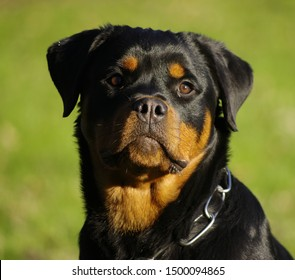 Rottweiler dog, head portrait, closeup