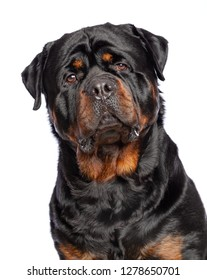 Rottweiler Dog  Isolated  on White Background in studio