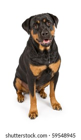 Rottweiler dog with a long string of drool. Isolated on white.
