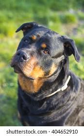 Rottweiler dog looks cute