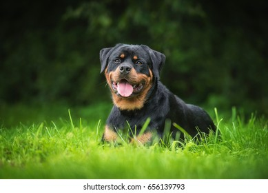 Rottweiler dog lying on the grass