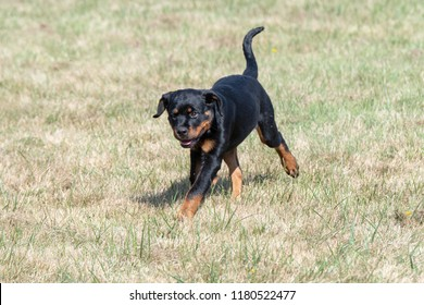 Rottweiler dog  on the green grass outdoor. Selective focus on the dog