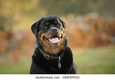 Rottweiler dog outdoor portrait by pile of firewood