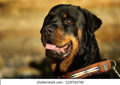 Rottweiler dog outdoor portrait head shot