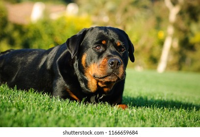 Rottweiler dog outdoor portrait lying down in grass