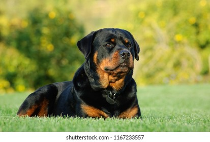 Rottweiler dog outdoor portrait lying down in green grass