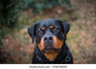 Rottweiler dog outdoor portrait sitting near thuja