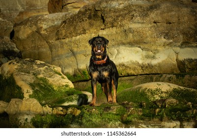 Rottweiler dog outdoor portrait standing on rocks with moss