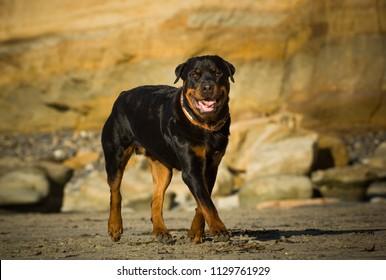 Rottweiler dog outdoor portrait walking on sand beach