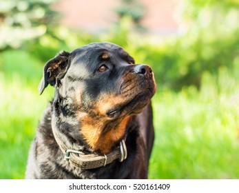 Rottweiler Dog Portrait