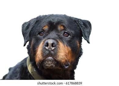 Rottweiler dog portrait close-up, isolated on white