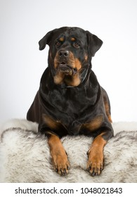 Rottweiler dog portrait. Image taken in a studio with white background. Guarding dog.