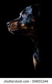 Rottweiler dog potrait against black background looks aside