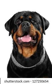 Rottweiler dog and  a shih tzu dog in studio
