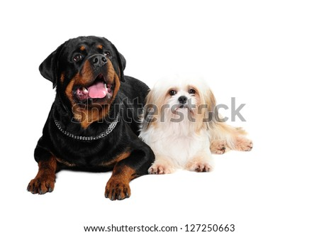 Rottweiler Dog Shih Tzu Dog Studio Foto de stock (editar ahora ...