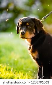 Rottweiler Training Images Stock Photos Vectors Shutterstock