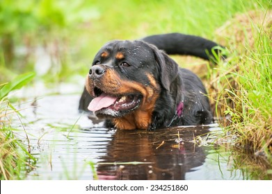 Rottweiler dog sitting in the water on a hot day