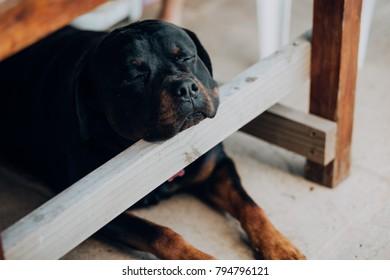 Rottweiler dog sleeping