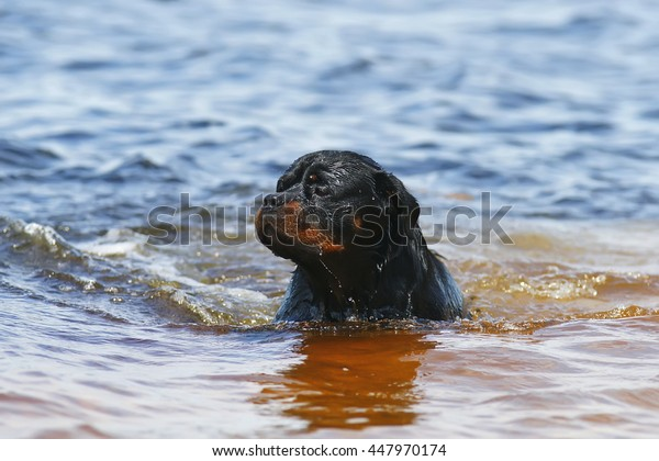 Rottweiler dog swimming outdoors at summertime