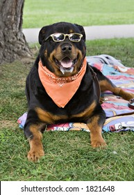 A Rottweiler enjoys a sunday afternoon in the park.