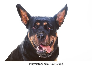 Rottweiler fooling around, funny dog, black with brown purebred Rottweiler dog isolated on white background