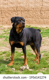 The Rottweiler is guarding the territory. An adult dog of the Rottweiler breed. Close-up. Female dog. Rottweiler color. Guard dog. Green grass
