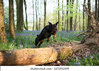 Rottweiler jumping over a fallen down tree in a bluebell wood
