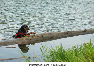 Rottweiler in the lake
