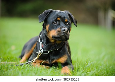 Rottweiler lying in the grass wearing a prong collar and leash