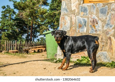 Rottweiler near house and trees sunny wether - Shutterstock ID 1382064632