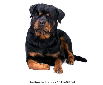 Rottweiler Images Stock Photos Vectors Shutterstock