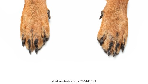 Rottweiler paws on isolated white background