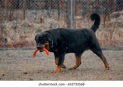Rottweiler plays on the platform