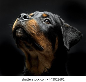 Rottweiler  portrait in the black photo studio