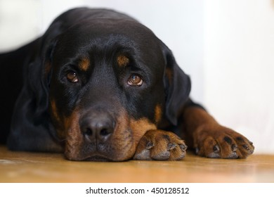 Rottweiler portrait. The dog is laying on the floor and looking into camera.