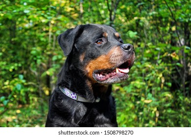 Rottweiler portrait in the forest