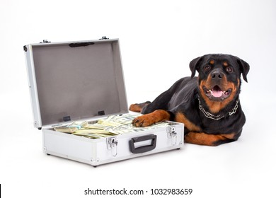 Rottweiler protecting suitcase full of dollars. Cute purebred rottweiler dog lying on white background and holding paw on money in silver case, studio shot. Protection of your money.