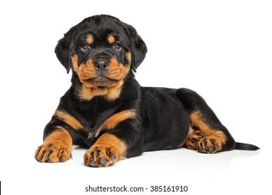 Rottweiler puppy dog lies down on white background