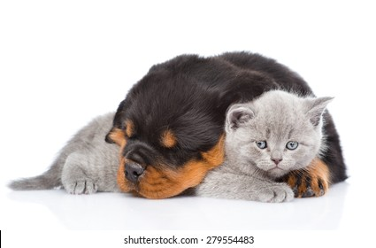 Rottweiler puppy embracing cute kitten. Isolated on white background