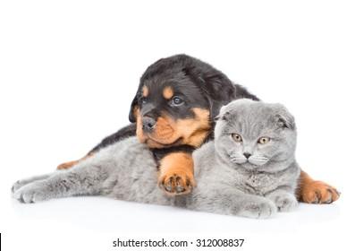Rottweiler puppy embracing scottish cat. Isolated on white background