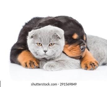 Rottweiler puppy embracing scottish kitten. Isolated on white background