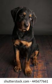 Rottweiler Puppy full body