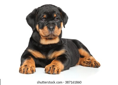Rottweiler puppy lies in front of white background