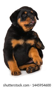 Rottweiler puppy scratches herself isolated on white background