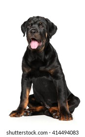 Rottweiler puppy sits in front of white background