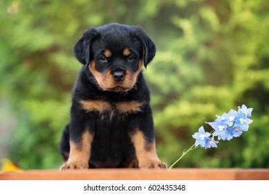 rottweiler puppy sitting outdoors